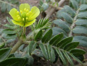 tribulus rastlina